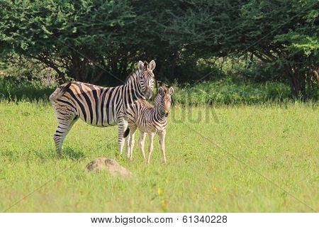 Zebra - Wildlife Background from Africa - Baby Animals and Moms