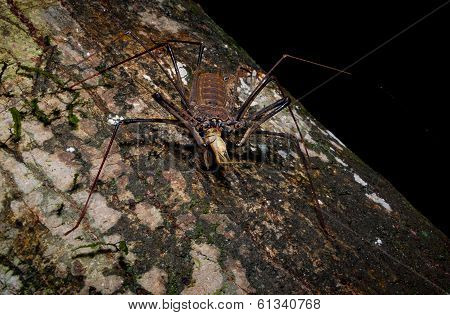 tailless whip scorpion or spider scorpion eating a grasshopper at night in the amazon