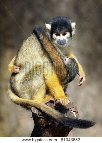 A squirrel monkey mother with her baby