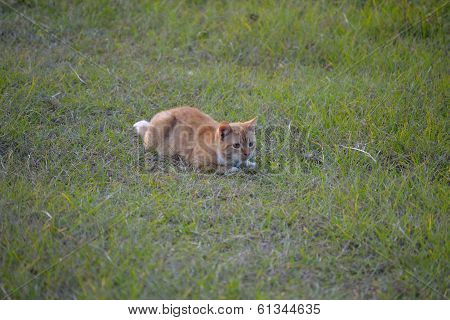 Orange Cat In The Grass