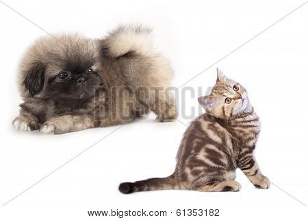 puppy Pekingese  and kitten , cat and dog