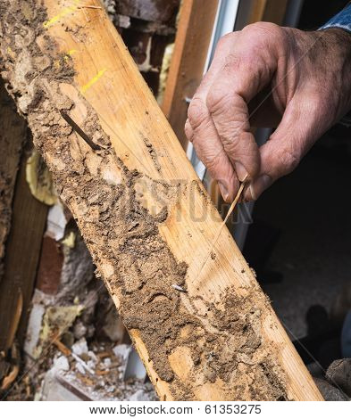 Closeup Of Man's Hand Showing Live Termite And Wood Damage
