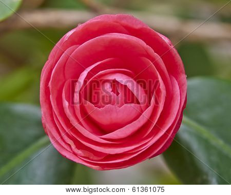 red camellia flower colorful background