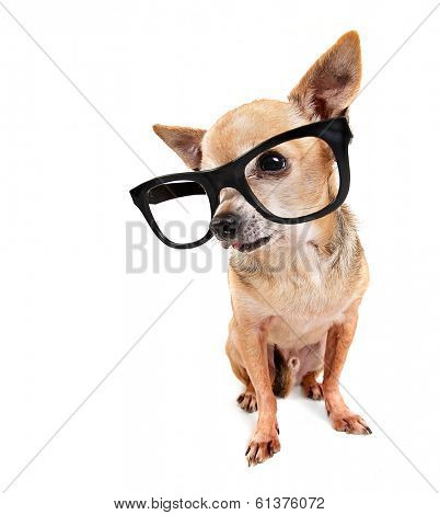 a cute chihuahua mix wearing glasses looking to the side