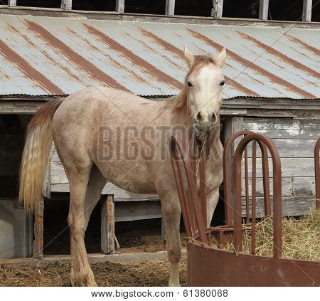 Arabian Horse eating hay