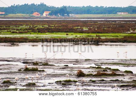 Flamingos On Marshes