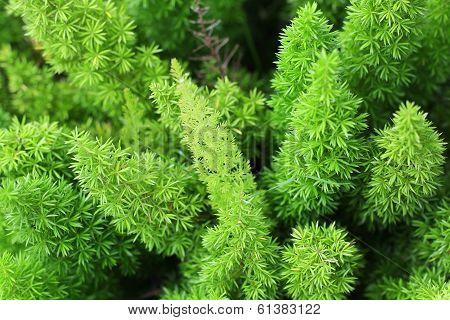 Foxtail As Background Or Texture