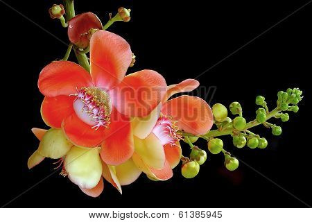 Cannonball Tree Isolated On Black Background