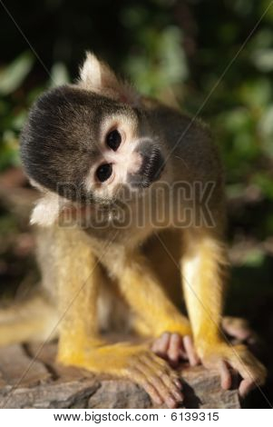 Cute Squirrel Monkey
