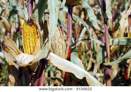 Cattle Corn