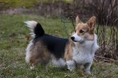 foto of corgi  - a young male welsh corgi pembroke standing on lawn - JPG
