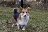 image of corgi  - a pure welsh corgi pembroke standing on lawn - JPG