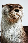 stock photo of taxidermy  - Otter portrait trophy room animals taxidermy objects - JPG