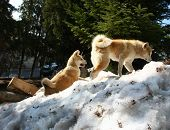 stock photo of akita-inu  - Akita Inu female and puppy climbing the snow hill - JPG