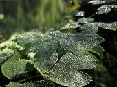 Morning Dew On The Green Leaves