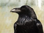 stock photo of raven  - A closeup of the head of a raven - JPG