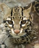 picture of ocelot  - beautiful ocelot or manigordo looking at camera - JPG