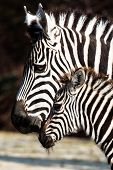 Zebra, Serengeti National Park, Tanzania, East Africa