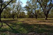 stock photo of pecan tree  - Mature pecan orchard in the fall under blue sky - JPG