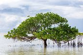 Beautiful mangrove tree growing on the seashore standing submerged in the sea water with its lush gr