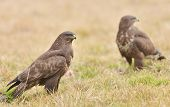 picture of buzzard  - Common buzzard wild birds nature photo  - JPG