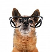 stock photo of chihuahua mix  - a cute chihuahua mix wearing glasses - JPG