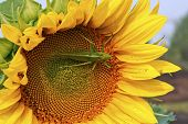 stock photo of locusts  - Locust sitting on a yellow flower sunflower - JPG