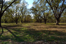picture of pecan tree  - Mature pecan orchard in the fall under blue sky - JPG