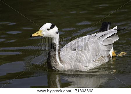 Bar-headed Geese swimming in pond