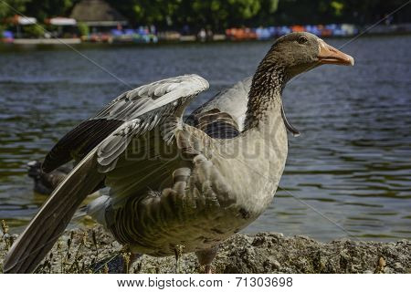 Greylag goose spreading wings