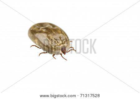 Female Tick Isolated On White Background
