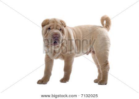 filhote de cachorro engraçado shar pei