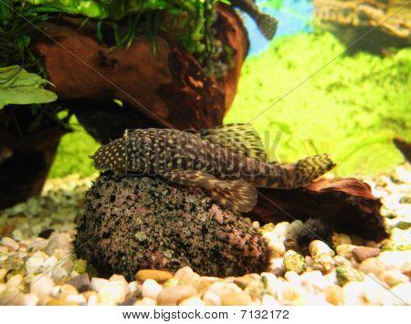Ancistrus (bristle-nose Catfish) On A Stone