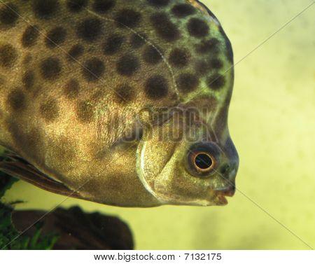 Scatophagus Argus In Aquarium