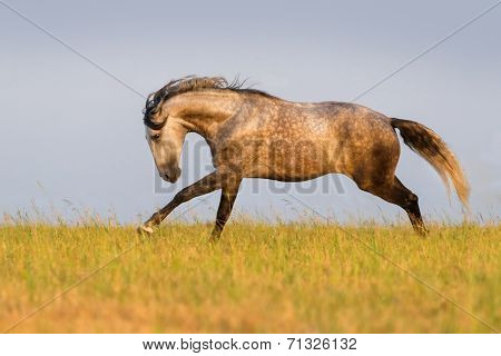 Horse run in the meadow