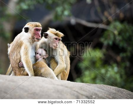 Family re-union of red-faced Macaque monkeys in the forest
