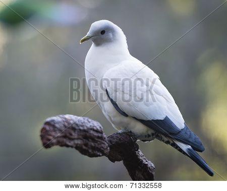 Peaceful pigeon