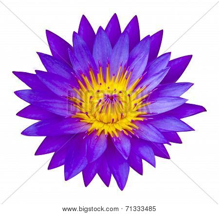 Purple Waterlilly Or Lotus Flower In Nature - Lotus Pond