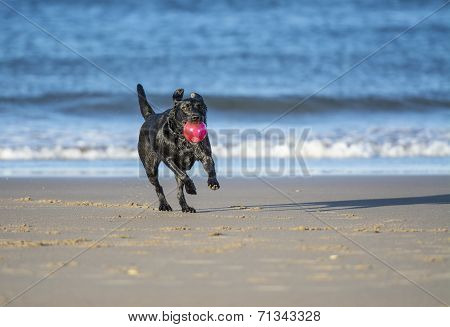 Dog Running On Beach Carrying Ball