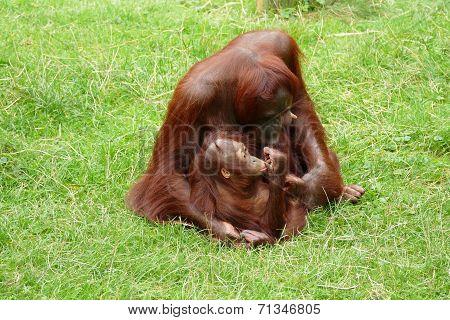 Orangutan Mother With Little Child