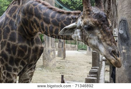 Giraffe Is Bending Down