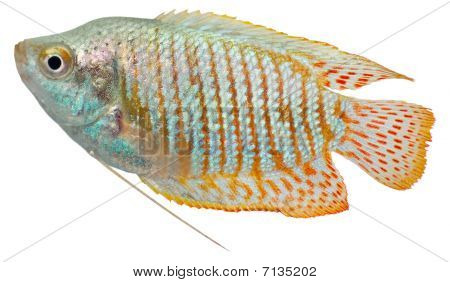 Dwarf Gourami Fish