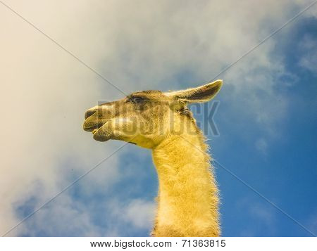 Guanac Andes Animal Side View Low Angle Portrait