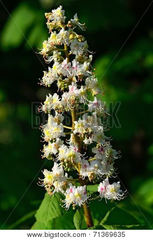 Flower Chestnut Closeup