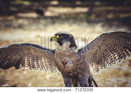 peregrinus, peregrine falcon with open wings , bird of high speed