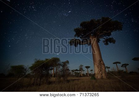 Starry sky and baobab trees highlighted by moon. Madagascar