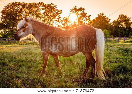 Shetland Pony on a farm in Central Kentucky against sunset