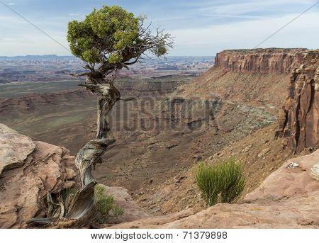 Utah Juniper Tree and Canyon at Canyonlands in Utah