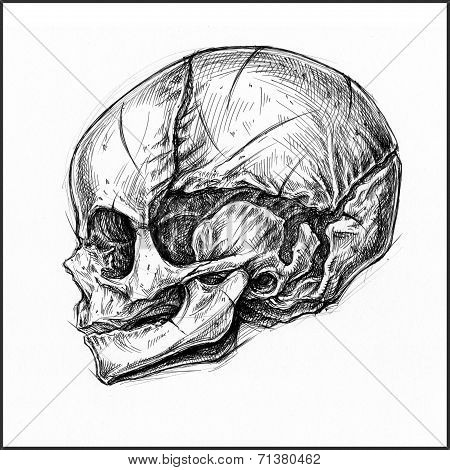 Fetus Skull