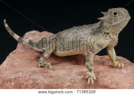 Roundtail horned lizard / Phrynosoma modestum